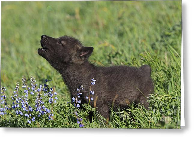 Timber Wolf Cub, Canis Lupus Greeting Card