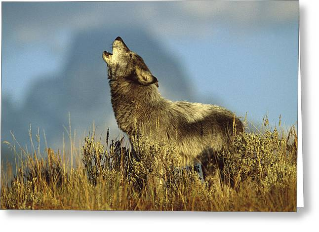 Timber Wolf Howling Idaho Greeting Card