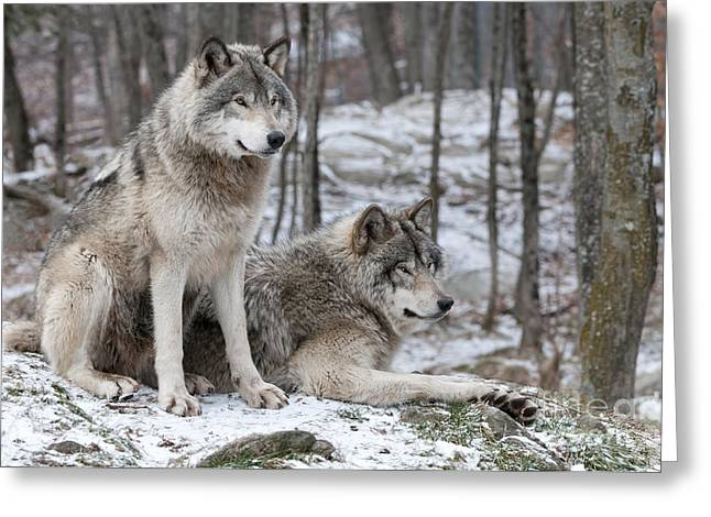 Timber Wolf Pair In Forest Greeting Card by Wolves Only