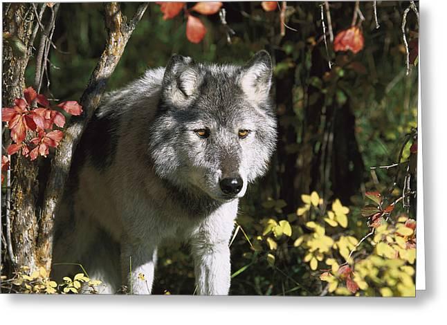 Timber Wolf Teton Valley Idaho Greeting Card by Tom Vezo