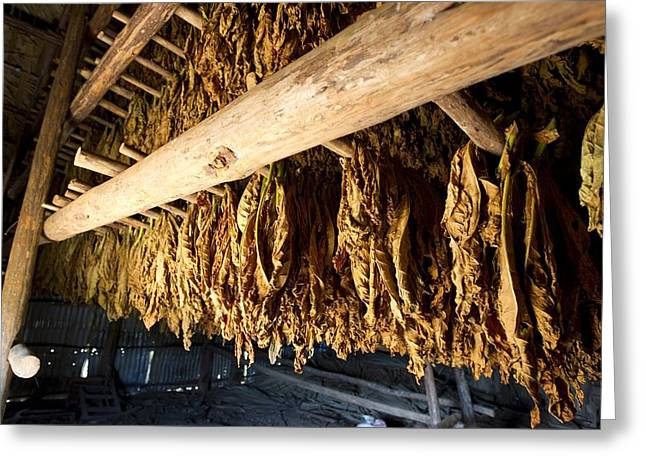 Tobacco Drying Room, Cuba Greeting Card by Science Photo Library