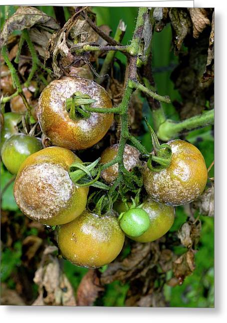 Tomatoes Infected With Late Blight Greeting Card