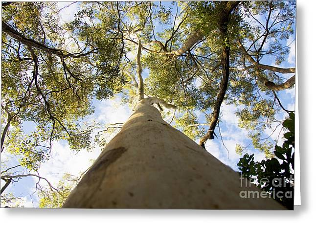 Towering Tree Trunk Greeting Card