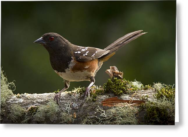 Towhee Greeting Card by Jean Noren
