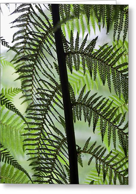 Tree Fern In Melba Gully, Great Otway Greeting Card