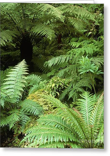 Tree Ferns And Ferns Greeting Card