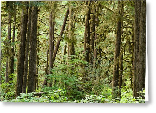Trees In A Forest, Quinault Rainforest Greeting Card
