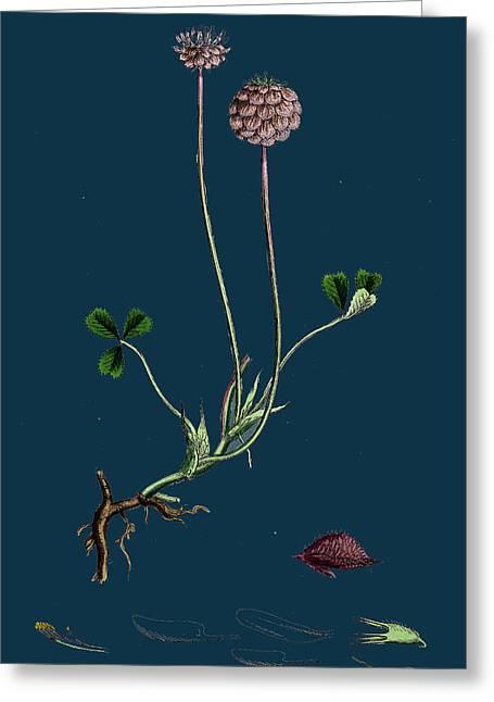 Trifolium Fragiferum Strawberry-headed Trefoil Greeting Card