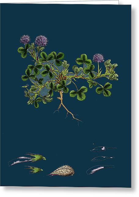 Trifolium Resupinatum Reversed-flowered Trefoil Greeting Card