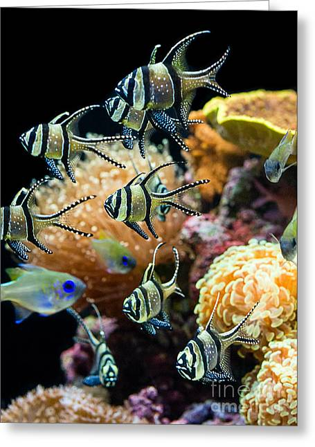 Tropical Wonderland - Banggai Cardinalfish Greeting Card by Jamie Pham