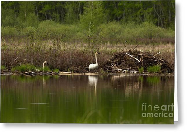 Trumpeter Swans Cygnus Buccinator Greeting Card by Linda Freshwaters Arndt