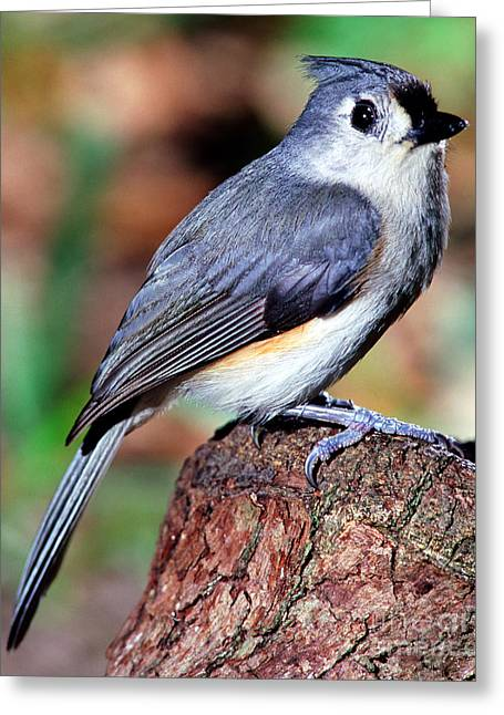 Tufted Titmouse Parus Bicolor Greeting Card