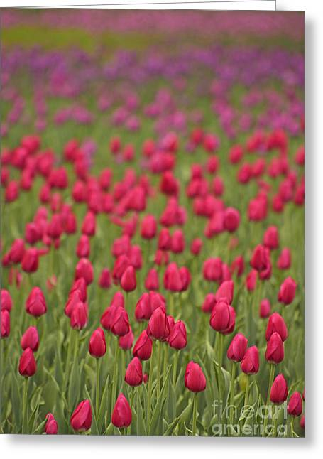 Tulip Beds Forever Greeting Card