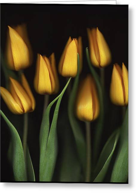 Tulips Greeting Card by Brian Haslam
