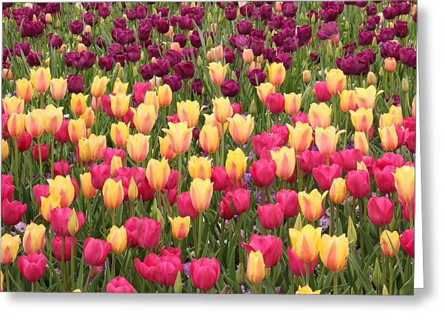 Greeting Card featuring the photograph Tulips by Elizabeth Budd