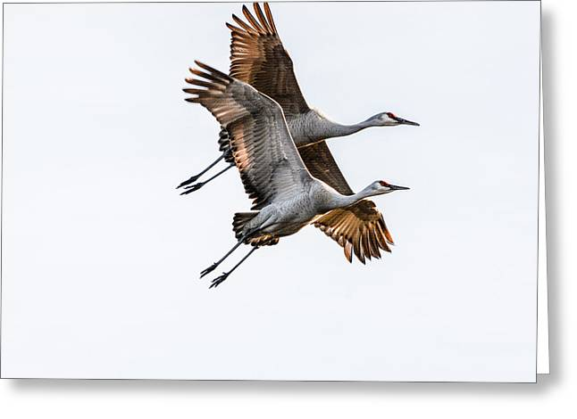 Two Sandhill Cranes Greeting Card