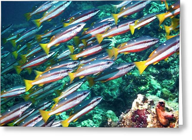 Two-spot Banded Snappers Greeting Card