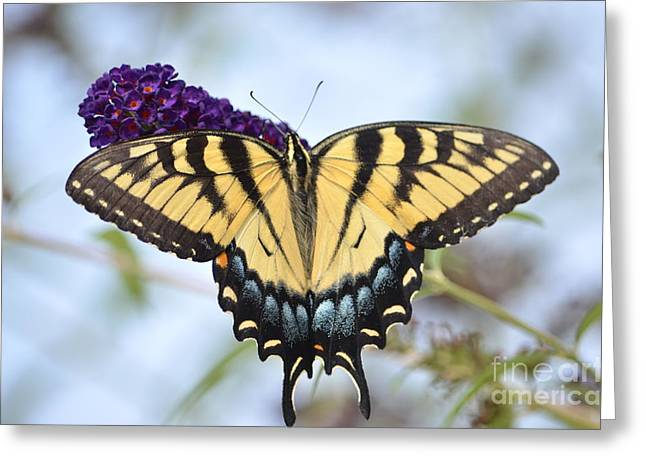 Two  Tailed Swallowtail Greeting Card by Kathy Gibbons