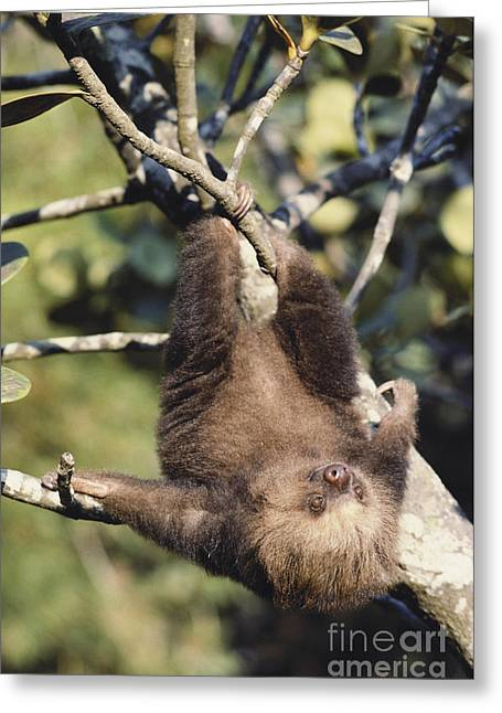Two-toed Sloth Greeting Card by Gregory G. Dimijian, M.D.