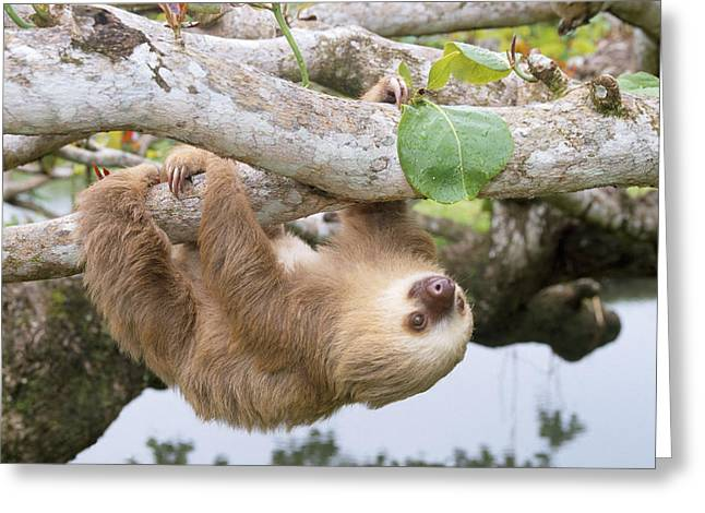 Two-toed Sloth Greeting Card by M. Watson