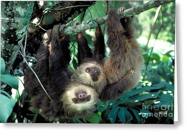 Two-toed Sloths Greeting Card by Gregory G. Dimijian