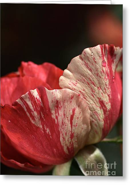 Two Toned Rose Greeting Card by Joy Watson