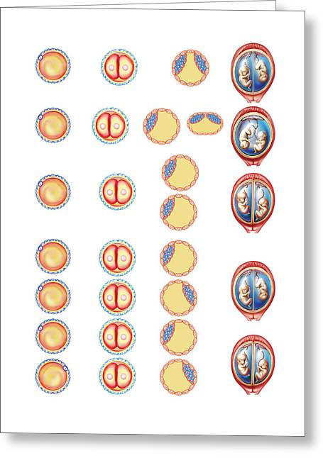 Types Of Twin Greeting Card by Asklepios Medical Atlas