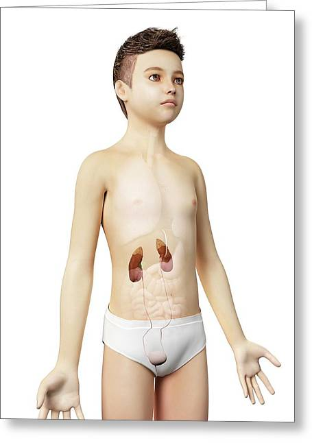 Urinary System Of A Boy Greeting Card