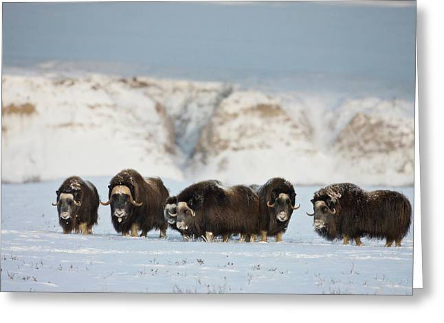 Usa, Alaska, Arctic National Wildlife Greeting Card by Hugh Rose