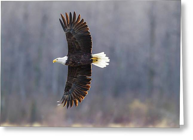 Usa, Alaska, Chilkat Bald Eagle Preserve Greeting Card