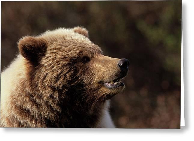 Usa, Alaska, Grizzly Bear, Denali Greeting Card