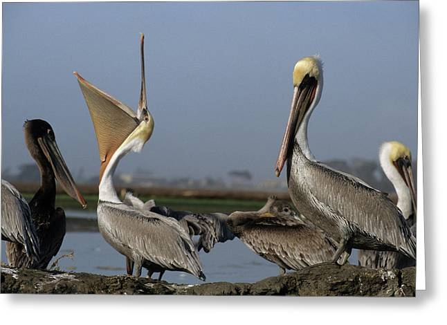 Usa, California, Brown Pelicans Greeting Card by Gerry Reynolds