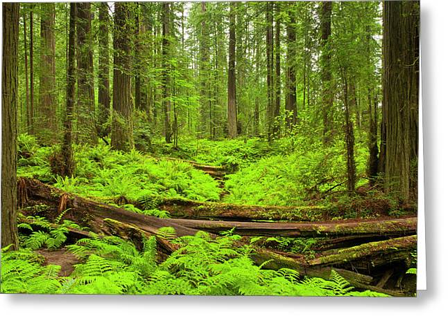 Usa, California, Humboldt Redwoods Greeting Card by Jaynes Gallery