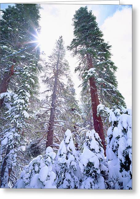 Usa, California, Snow-covered Red Fir Greeting Card