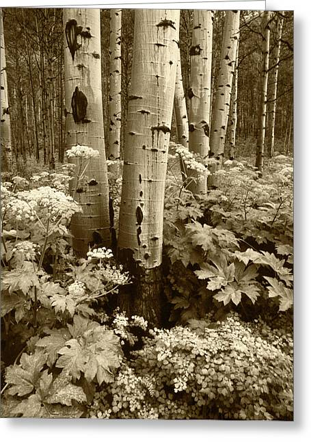 Usa, Colorado, Aspen Trees (populus Greeting Card by Adam Jones