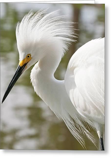 Usa, Florida Snowy Egret (egretta Thula Greeting Card by Michael Defreitas