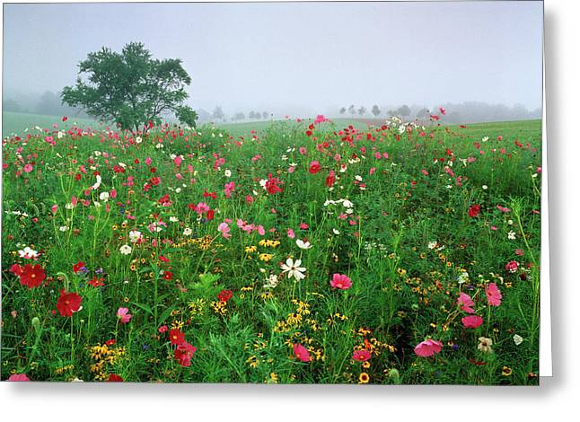 Usa, Kentucky, Union, Field Of Cosmos Greeting Card by Adam Jones