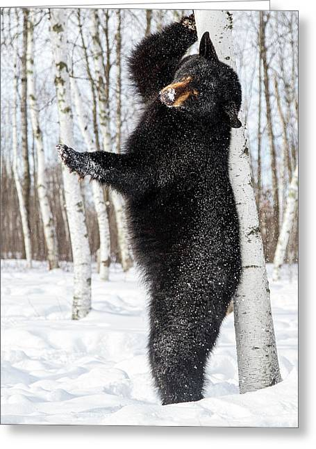 Usa, Minnesota, Sandstone, Black Bear Greeting Card by Hollice Looney