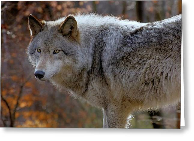 Usa, New Jersey, Columbia, Lakota Wolf Greeting Card