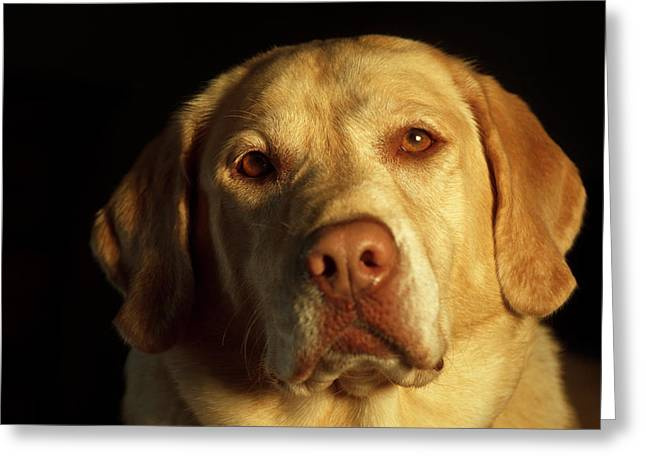 Usa, Oregon, Keizer, Labrador Retriever Greeting Card