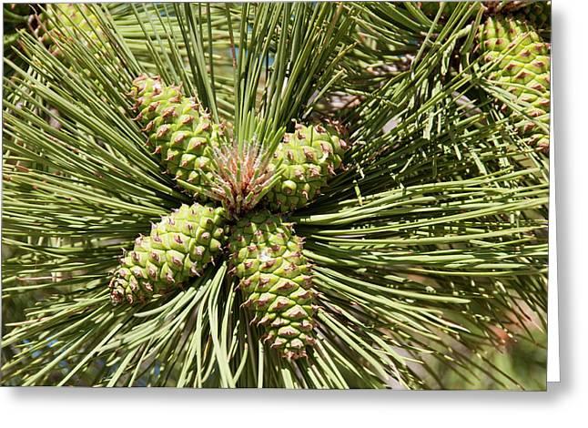 Usa, Utah, Ponderosa Pine Tree At Bryce Greeting Card by Lee Foster