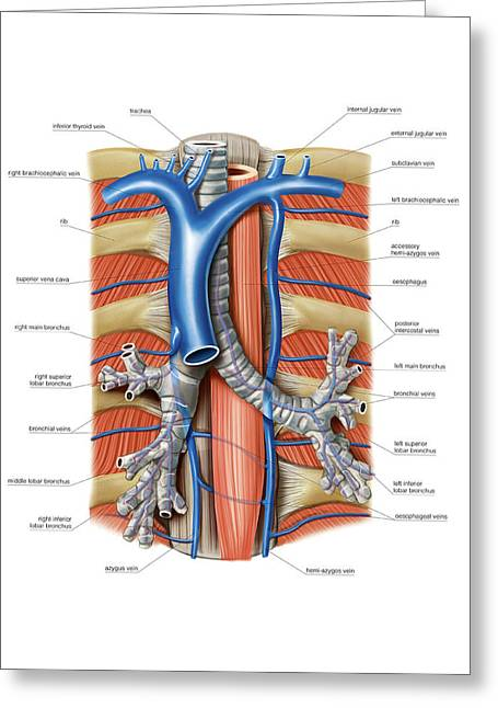 Venous System Of The Chest Greeting Card