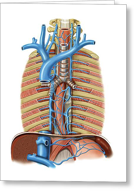 Venous System Of The Oesophagus Greeting Card