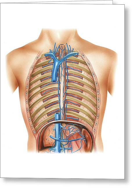 Venous System Of The Torso Greeting Card by Asklepios Medical Atlas