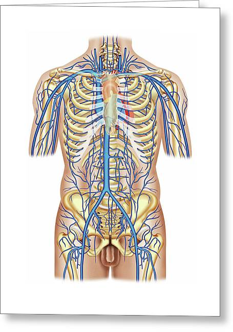 Venous System Of The Trunk Greeting Card by Asklepios Medical Atlas