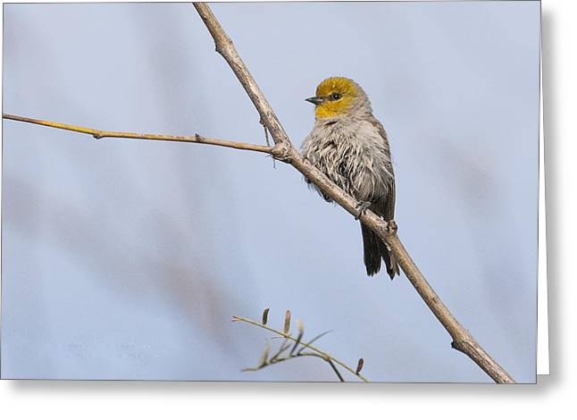 Verdin Greeting Card by Tam Ryan