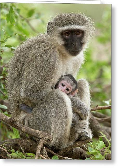 Vervet Monkey And Young Greeting Card by Bob Gibbons