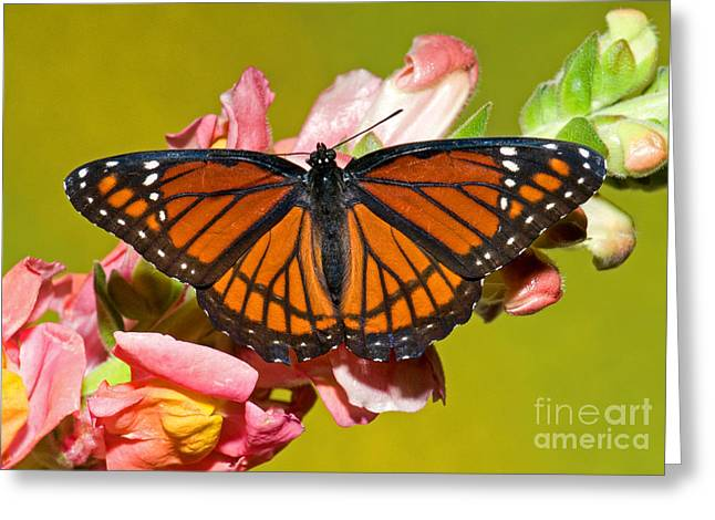 Viceroy Butterfly Greeting Card by Millard H. Sharp