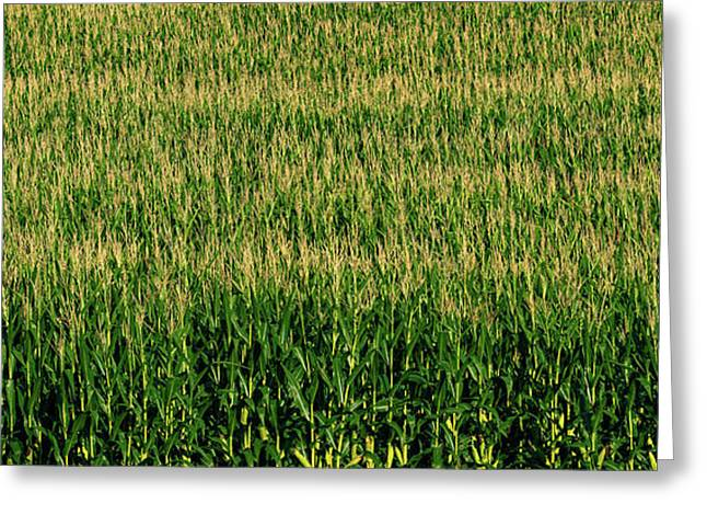 View Of Cornfield, Cowansville, Quebec Greeting Card