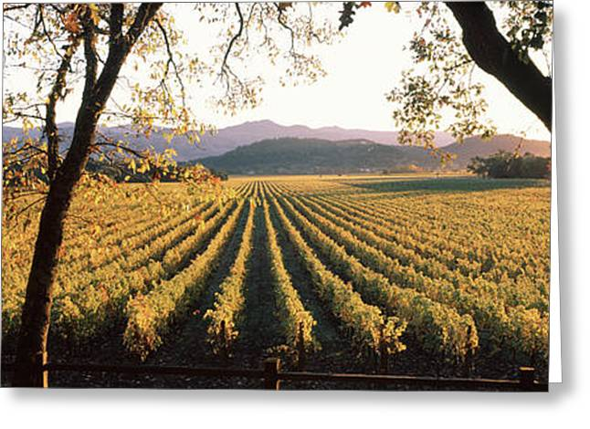 Vines In A Vineyard, Far Niente Winery Greeting Card by Panoramic Images